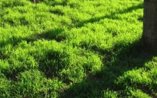 Как выровнять газон который растет кочками видео