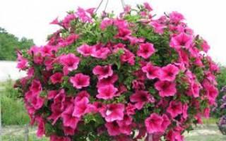 Выращивание петунии Сурфиния — видео советы, фото