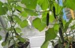 Огурцы на подоконнике — выращивание гибридных сортов, прищипка, подкормка, видео