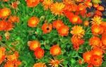 Календула — посадка в открытый грунт рассады цветов, видео