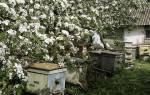Пчеловодство — весенние работы на пасеке, советы начинающему пчеловоду по работам в мае, обустройстве пасеки, видео
