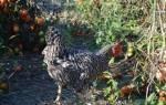 Куриный помет как удобрение для помидор и огурцов, видео