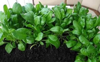 Выращивание шпината в открытом грунте и на подоконнике, видео