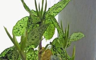 Диффенбахия — уход в домашних условиях, как ухаживать за цветком, фото, видео