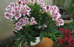 Выращивание альстромерии в домашних условиях в горшке, видео