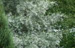 Живой забор на даче из ивы, деревьев, кустарников, что посадить, видео