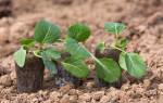 Цветная капуста, как вырастить большие-пребольшие кочаны, видео