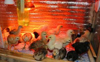 Температура для цыплят в первые дни жизни, красная лампа для обогрева, видео