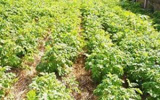 Сидераты для картофеля — зачем нужны, как выращивать + видео