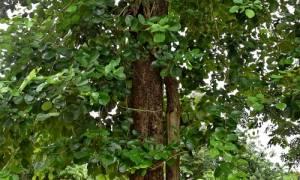 Сандаловое дерево — чем пахнет, свойства, эфирное масло, видео
