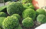 Стрижка самшита для создания красивой формы кустарника, видео