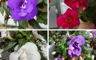 Ахименесы — махровые сорта, гибриды, характеристика, видео