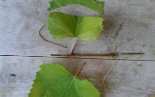 Три способа размножения винограда зелеными черенками + видео