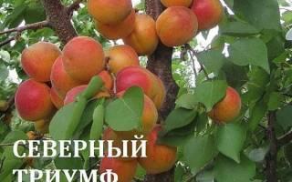 Абрикос триумф Северный — описание сорта, посадка и уход, высота дерева, самоплодный, видео