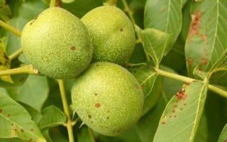 Болезни грецкого ореха, чернеют плоды, чем обработать, видео