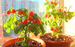 Как вырастить помидоры в квартире зимой, посадка и уход