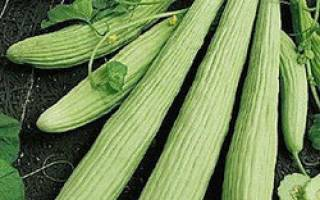 Выращивание дыни змеевидной, особенности гибрида