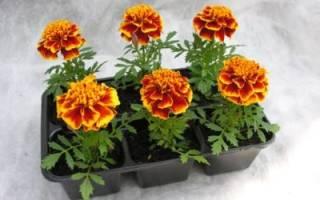 Бархатцы — выращивание из семян, когда сажать, посадка и уход в открытом грунте, видео