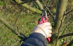 Обрезка плодовых деревьев, обрезка и формовка молодых деревьев, правильная обрезка деревьев