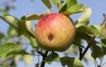 Сливовая плодожорка: меры борьбы и профилактики появления вредителя, видео