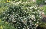 Спирея японская Альбифлора: описание и особенности сорта, видео