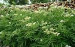 Бузина травянистая — особенности растения, свойства, видео