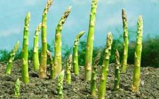 Как растет спаржа, описание растения, нюансы выращивания, видео