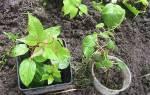 Актинидия — саженцы из черенков и семян, их отличие, видео