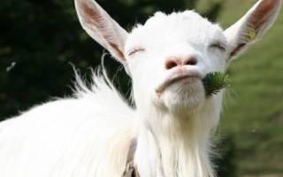 Породы коз — фото с описанием зааненской, англо-нубийской, карликовой, альпийской, бурской, чешской, ангорской породы, видео