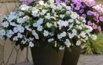 Цветок бальзамин — болезни и вредители, опадают листья, лечение, фото, видео