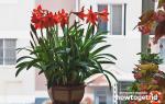 Почему не цветет гиппеаструм дома — что делать, как заставить цвести, видео