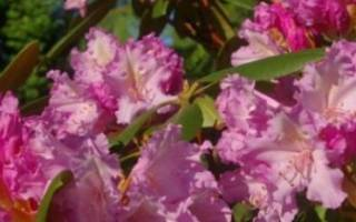 Виды рододендронов — Якушиманский, Фори, Пукханский, Вазея, видео