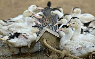 Чем кормить уток — что едят утки, правила составления комбикорма в домашних условиях, откорм и рацион птицы, видео