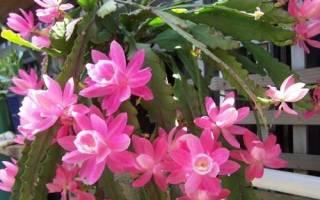 Кактус эпифиллум: особенности растения и популярные виды, видео