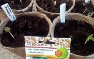 Когда сажать рассаду настурции: сроки и особенности посева, видео