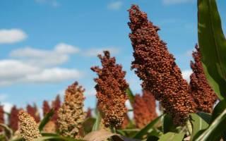 Технология выращивания сорго зернового, нормы высева, видео