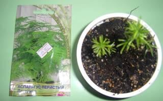 Аспарагус — способ размножения семенами, уход, видео