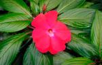 Бальзамин Новогвинейский — выращивание из семян, видео