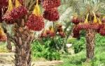 Пальма финиковая — виды для выращивания дома, уход, видео