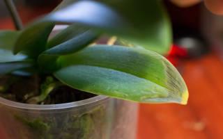 Почему желтеют листья у фаленопсиса, решение проблем, видео