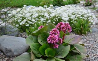 Бадан — фото толстолистного, сердцелистного, гибридного, садового растения, видео