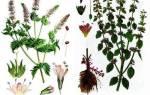 Мелисса — чем отличается от других видов мяты, выращивание, видео