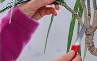 Как правильно обрезать драцену в домашних условиях для получения боковых побегов, ветвления, видео