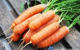 Выращивание моркови на даче в открытом грунте — посадка и уход, видео