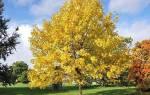 Как вырастить ясень из семян, посадка весной, саженцы, видео