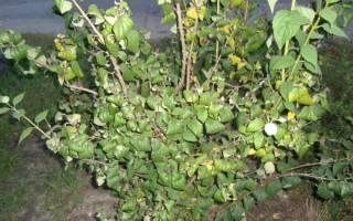 Почему скручиваются листья у жасмина, причины и пути решения
