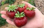 Земляника садовая Мальвина — характеристики, выращивание, видео