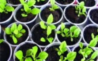 Астра — выращивание рассады безземельным способом, видео