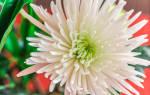 Хризантема Анастасия — детальный обзор и видео