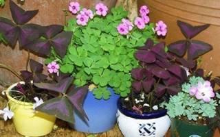 Кислица пурпурная — особенности растения, правила ухода, видео